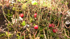 Ephedra americana a prostrate gymnosperm shrub Stock Footage