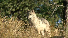 P00007 Gray Wolf Alarmed and Fleeing Stock Footage