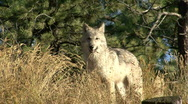 Stock Video Footage of P00007 Gray Wolf Alarmed and Fleeing