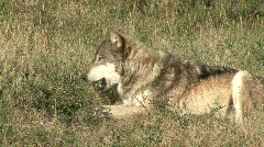 P00008 Gray Wolf Resting and Opening Mouth Stock Footage
