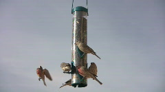 Finches All Fly Away Stock Footage