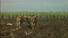 Oxen plowing field with seed sower Stock Footage
