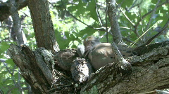 P00016 Mourning Dove at Nest with Chicks Stock Footage