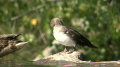 P00018 Waterfowl Grooming Stock Footage