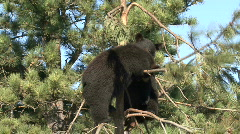 P00020 Black Bear Cubs Wrestling in Tree - stock footage
