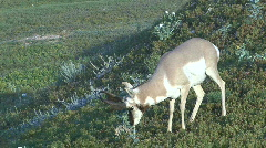 P00021 Pronghorn Antelope Buck Feeding - stock footage
