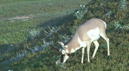 Stock Video Footage of P00021 Pronghorn Antelope Buck Feeding