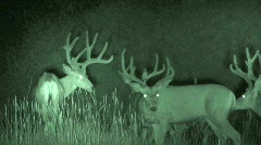 P00028 Mule Deer Bucks at Night with Infrared Stock Footage