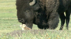 P00029 Bison and Prairie Dog Stock Footage