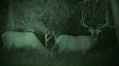 P00031 Bull Elk Pair at Night with Infrared Stock Footage