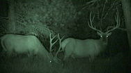 Stock Video Footage of P00031 Bull Elk Pair at Night with Infrared