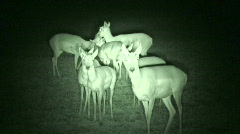 P00032 Pronghorn Antelope at Night with Infrared Stock Footage