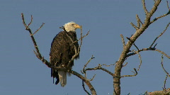 P00035 Bald Eagle Perched Above Prairie Dog Town Stock Footage