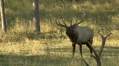 P00036 Bull Elk Bugling in Fall Stock Footage