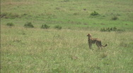 Stock Video Footage of Cheetah