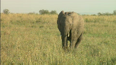 Elephant calf and mother Stock Footage