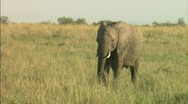 Stock Video Footage of Elephant calf and mother