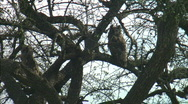 Stock Video Footage of African Owl in Kenya