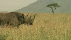Rhinoceros walks across frame Stock Footage