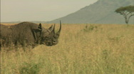 Stock Video Footage of Rhinoceros walks across frame