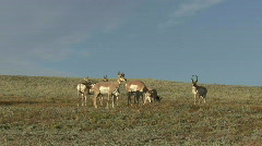 P00039 Pronghorn Antelope Buck and Harem of Does Stock Footage
