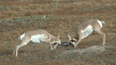 P00042 Pronghorn Antelope Bucks Fighting Stock Footage