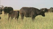 Stock Video Footage of Water Buffalo