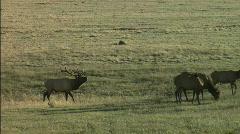Elk in Mating season Stock Footage