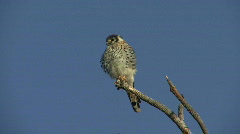 P00048 Kestrel aka Sparrow Hawk Preening Stock Footage