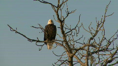 P00052 Bald Eagle Perched in Tree Stock Footage