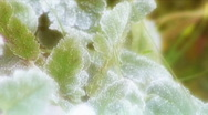 Stock Video Footage of Frost on green leaves