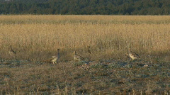 P00071 Sharp-tailed Grouse on Prairie Stock Footage