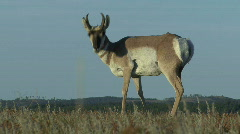 P00073 Pronghorn Antelope Buck from Ground Level Stock Footage