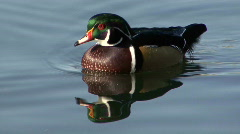 P00079 Wood Duck Drake Stock Footage