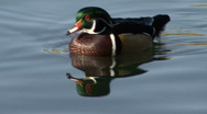 Stock Video Footage of P00079 Wood Duck Drake