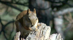 P00082 Red Squirrel Feeding Stock Footage