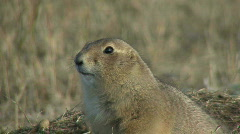P00089 Black-tailed Prairie Dog Closeup Stock Footage