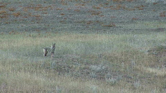 P00091 Coyote Howling and Yipping Stock Footage