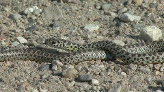 P00095 Bull Snake Stock Footage