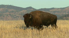 P00099 Bison Bull on the Great Plains Stock Footage