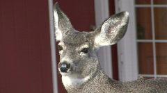 P00100 Mule Deer and House Stock Footage