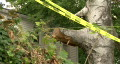 Old Tree With Police Tape Footage