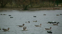 Greylag Goose (Anser anser) Stock Footage