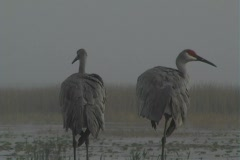 Sandhill Cranes in Thick Fog (1) Stock Footage