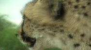 Stock Video Footage of Cheetah Licking Close Up