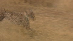 Cheetah Running  - stock footage