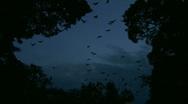 Huge lot of Bats Flying - Zoomed Shot Stock Footage