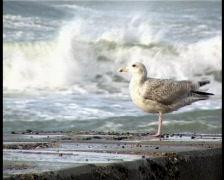 Seagull Denmark Stock Footage