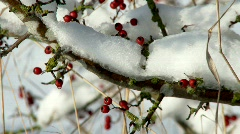Red berries and snow Stock Footage