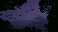 Huge Flock of Bats Flying in Purple Sky- Flying Fox Stock Footage